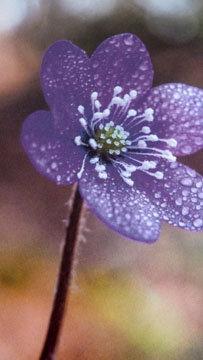 цветы перелески