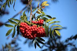 Высокое содержание витамина С делает эти ягоды особенно полезными