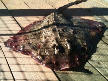 Рыба скат 1