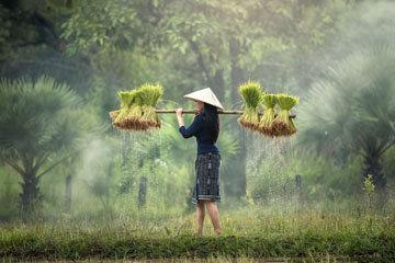 Культивируемые рисовые растения