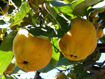 Айва - особенный родственник яблока и груши