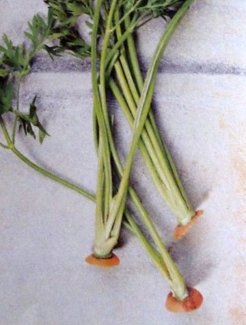 Песто из листьев моркови 1